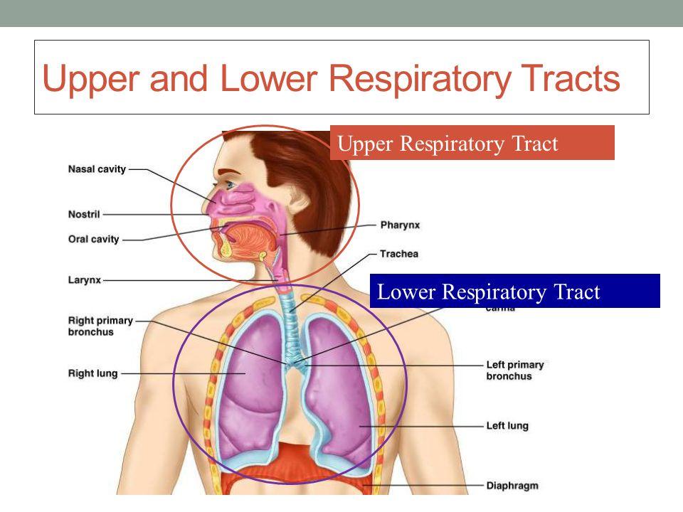 Upper Respiratory Tract. Lower Respiratory Tract.