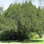 Дерево тис: фото и описание, уход, размножение и использование