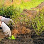 Технология посадки: можно ли сажать сирень осенью