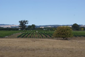 We're here right before harvest, which accounts for the brown grass- but the smell of the grapes in the air is amazing!