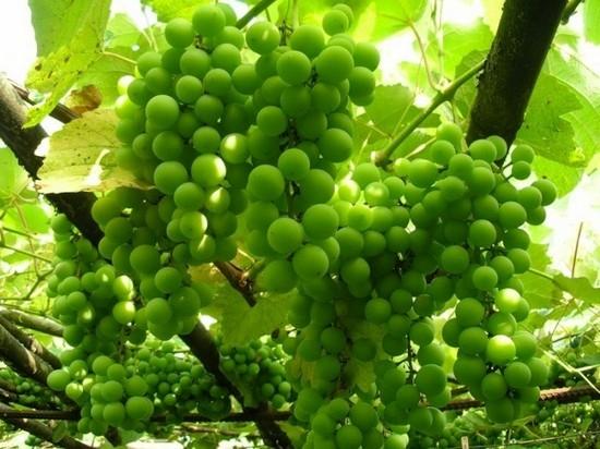 Компот из белого винограда и персиков - рецепт пошаговый с фото