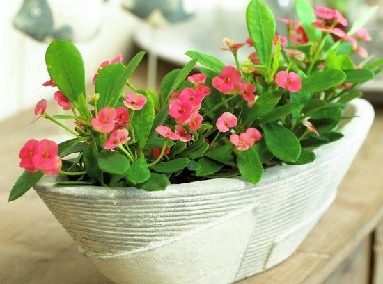 Неприхотливые комнатные цветы, цветущие круглый год | LS