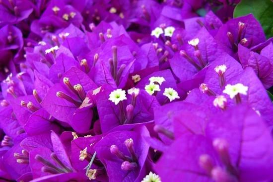 Пурпурный цвет - это какой и как он выглядит? | LS