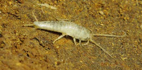 White living creatures in the bathroom  Insects in the