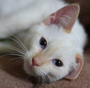 Месячный котенок кашляет. Лечим кашель у кошек: симптомы и причины, кашель и хрипы