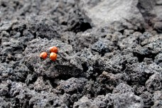 Ladybugs in lava stones.