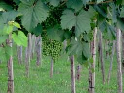 Vineyards in Pliskovica