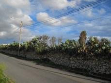 Cactus - very common plant in Malta
