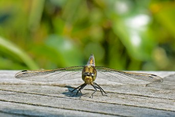 Black-tailed Skimmer (f)