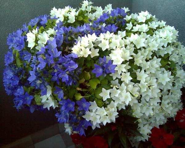 Цветок Жених и невеста   Комнатный цветок Жених и невеста