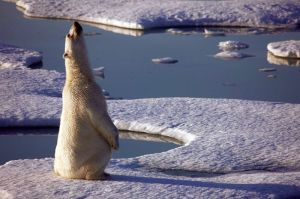 Oso Polar en el Ártico. Imagen de Greenpeace