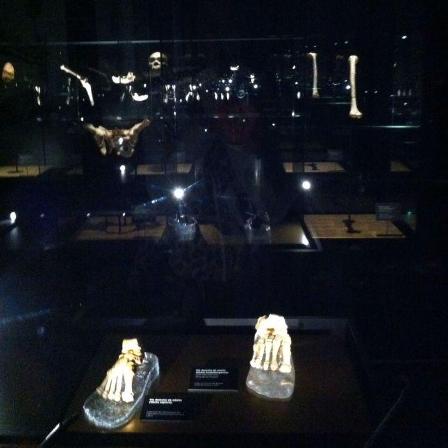 Restos arqueológicos en el Museo de la evolución humana