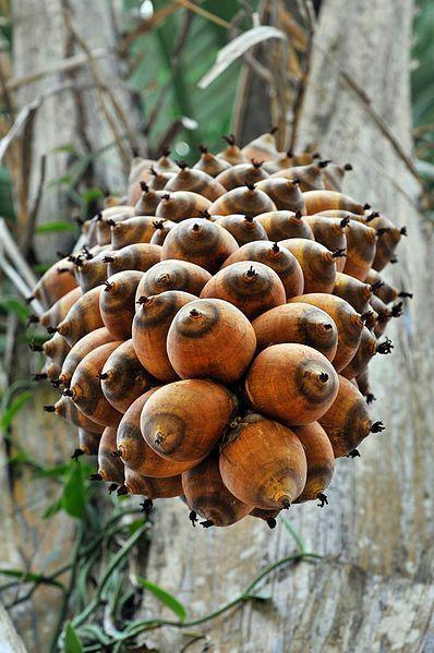 Fruto del que se extrae el aceite de palma