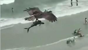 Video: Un águila atrapa con sus garras un tiburón y se lo lleva volando