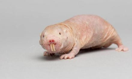 Extraordinarias ratas topo y el cáncer