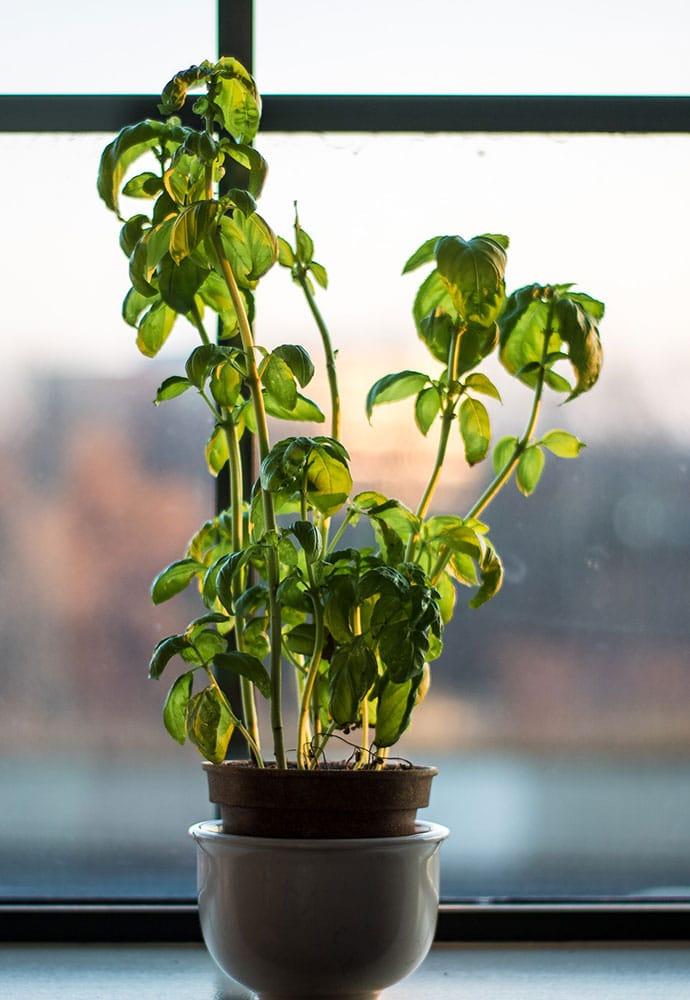 planter du basilic à l'intérieur