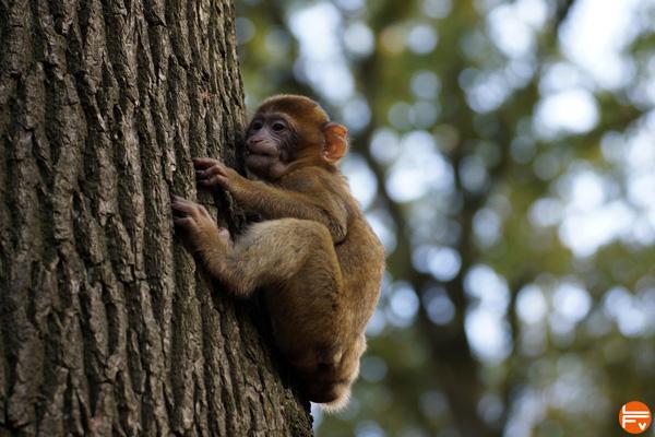 prevention climbing monkey trees