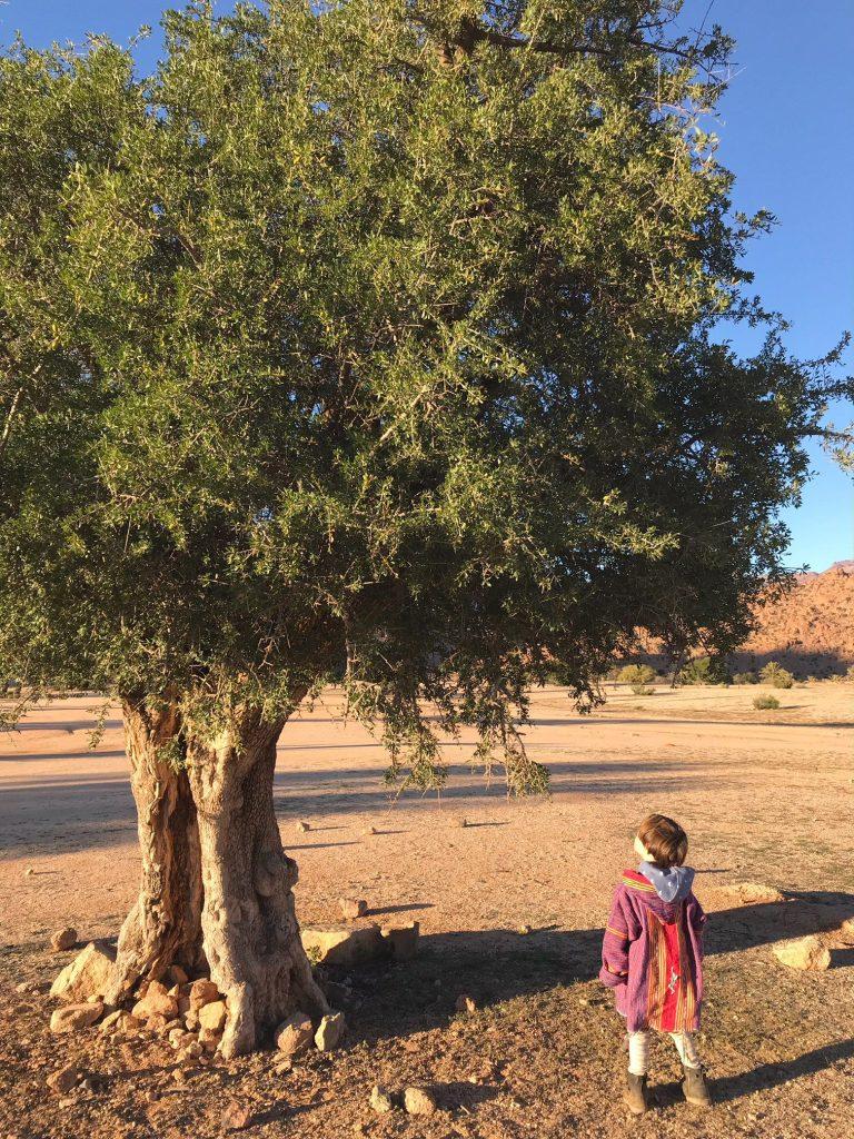 Voyage au Maroc grand arganier à la palmeraie de Tafraout