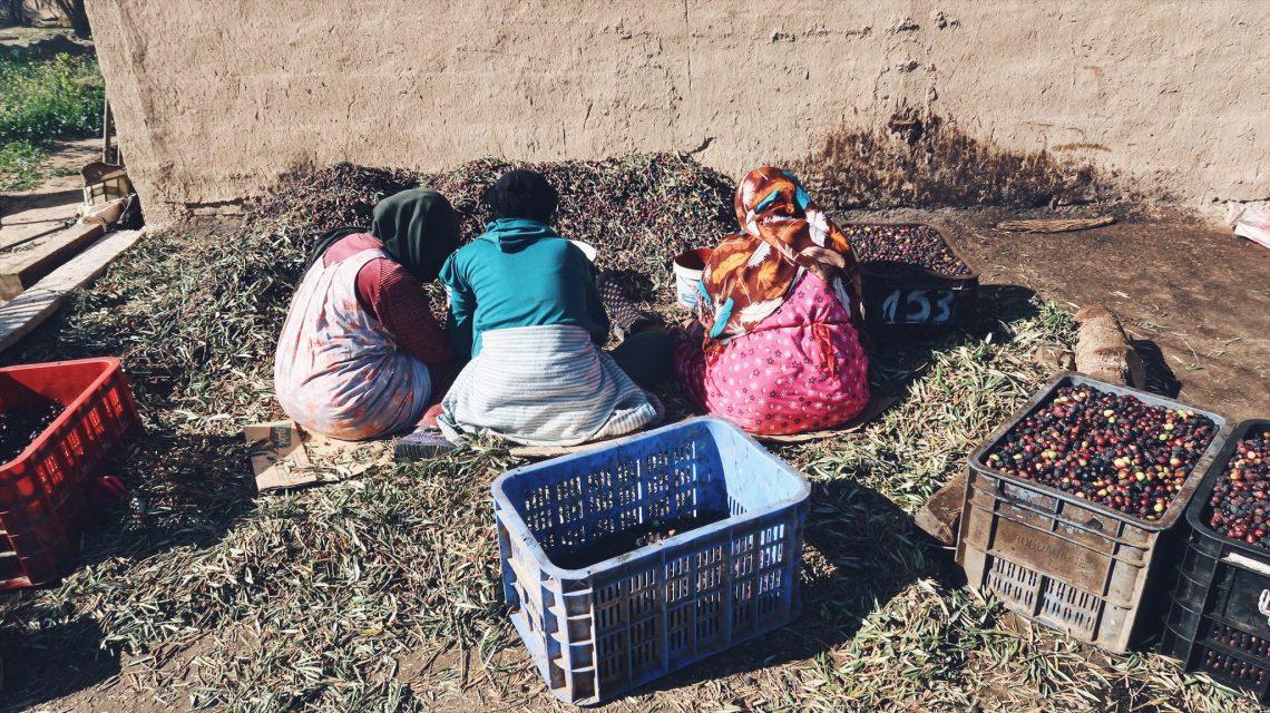 Voyage au Maroc Taroudant tri des olives noirs dans la raffinerie