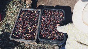 Voyage au Maroc Taroudant olives noirs dans la raffinerie d