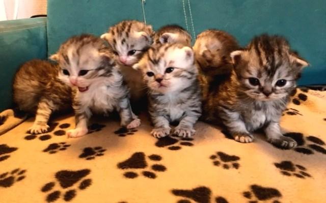 chatons scottish fold accès