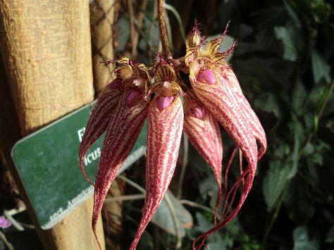 Une orchidée de la variété Bulbophyllum Elizabeth Ann