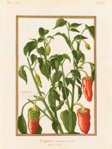 Capsicum annuum Linné (Solanacées) / Anonyme