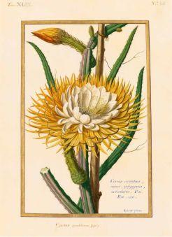Selenicereus grandiflorus (Linné) Britton & Rose (Cactacées) / Claude Aubriet