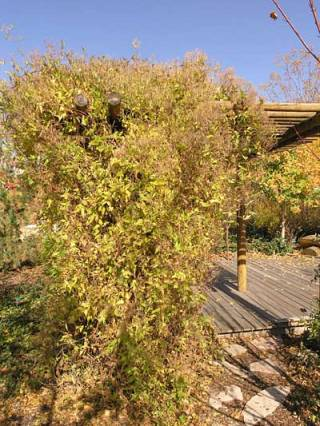 Les clématites sont des arbustes!