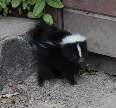 Baby striped skunk, or kit