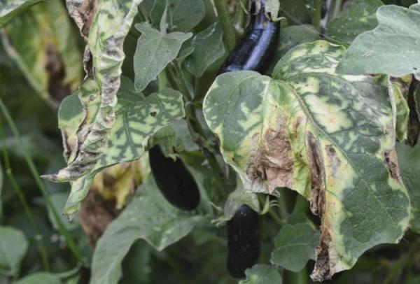 Болезни листьев у баклажанов: описания с фото и способы ...