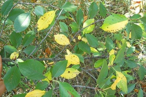 Болезни листьев вишни: описания с фото и способы лечения