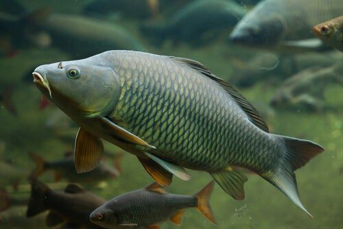 Reproduction of Carp and Pond Fish