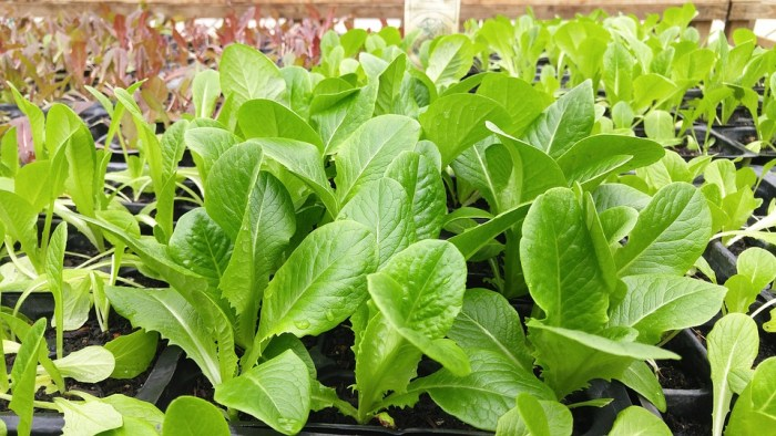 Green, Leafy, Vegetable, Vegetarian, Farm, Organic