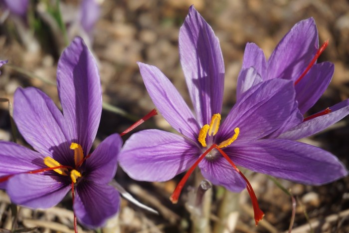 Saffron, Crocus Sativus, Harvest, Flowers Of Saffron