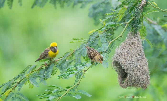 File:Baya Weaver with nest male and female.jpg