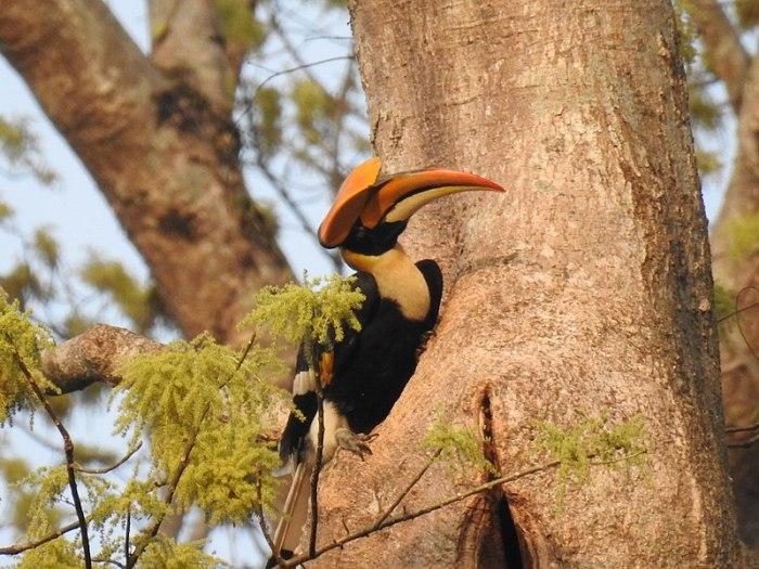 File:Great Hornbill Male.jpg