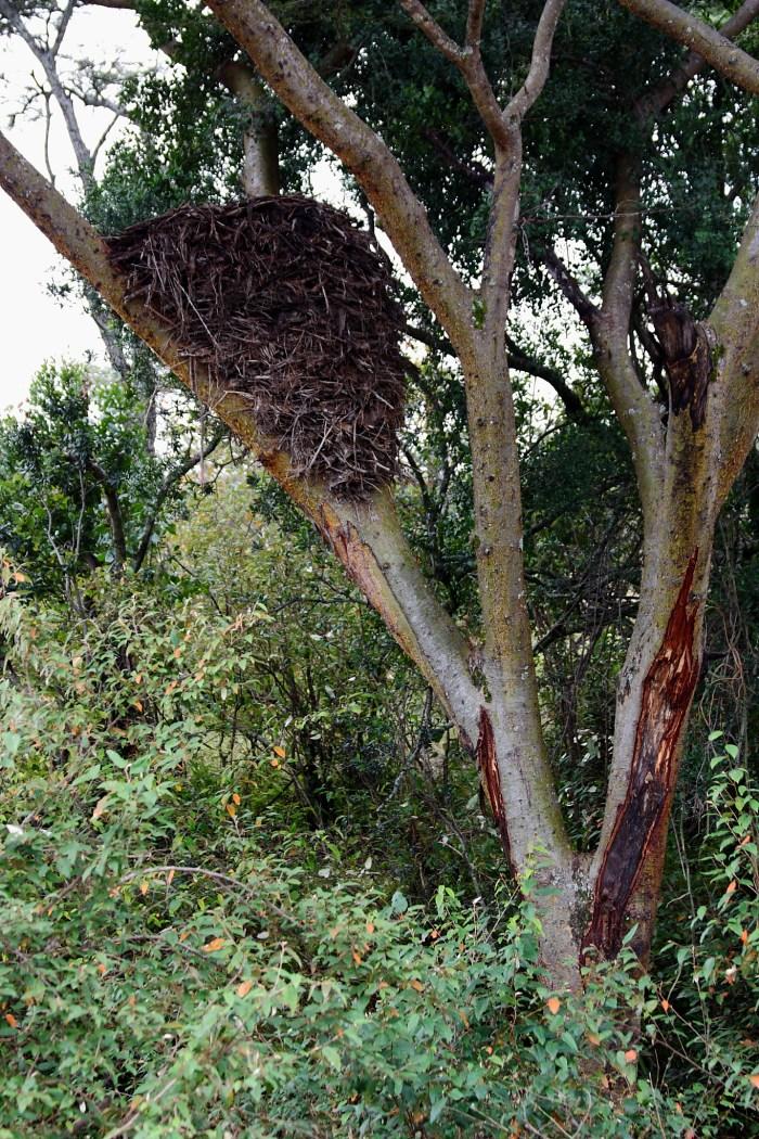 https://upload.wikimedia.org/wikipedia/en/c/c1/Hammerkop_Nest_Kenya_2012.jpg