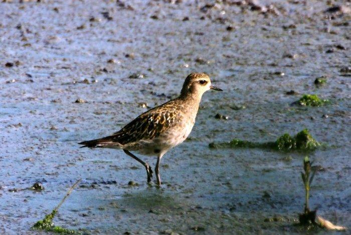 Pacific Golden Plover, Wild, Bird, Wildlife, Migratory