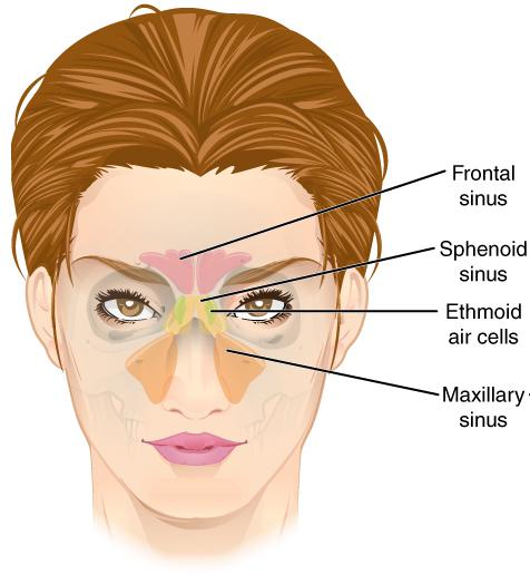 File:Paranasal Sinuses ant.jpg