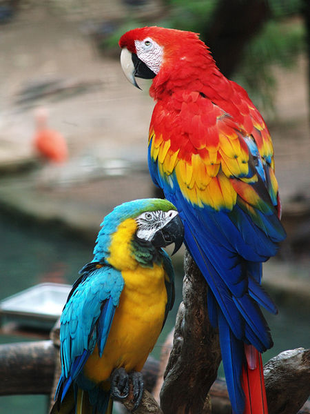 File:Scarlet Macaw and Blue-and-gold Macaw.jpg