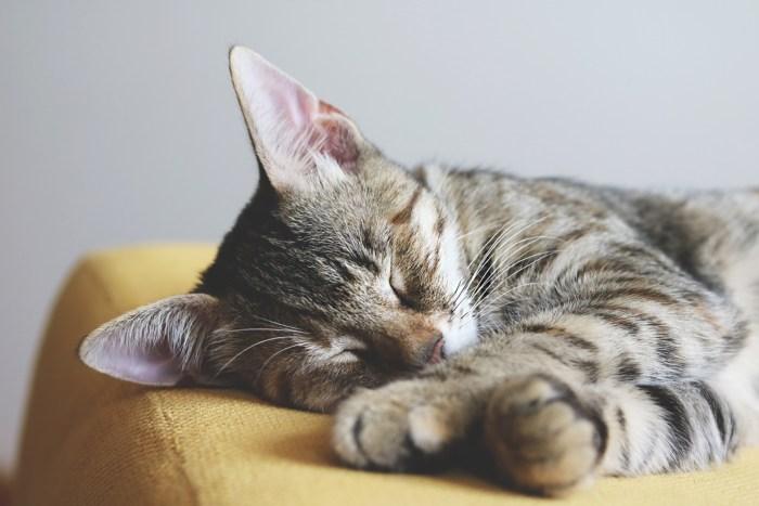 C:\Users\Zubair\Downloads\close-up-photography-of-gray-tabby-cat-sleeping-on-yellow-1440918.jpg