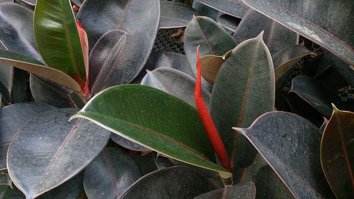 File:Rubber Plant (Ficus elastica 'Robusta') 2.jpg