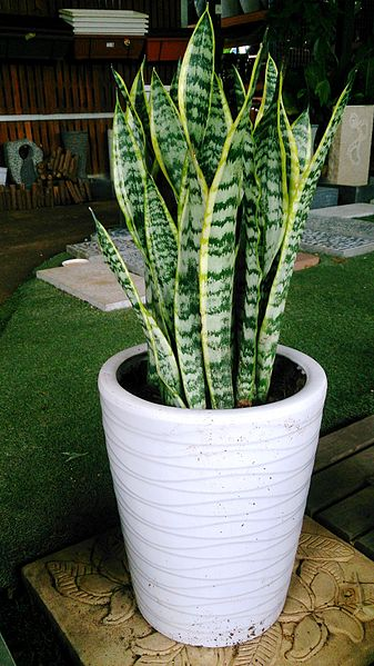 File:Snake Plant (Sansevieria trifasciata 'Laurentii') 2.jpg