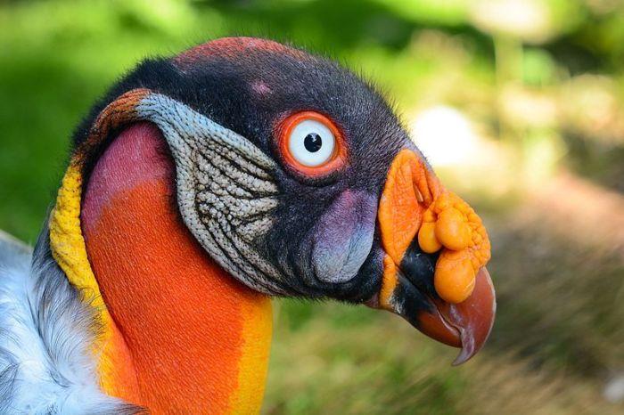 File:Sarcoramphus papa (Königsgeier - King Vulture) - Weltvogelpark Walsrode 2013-01.jpg