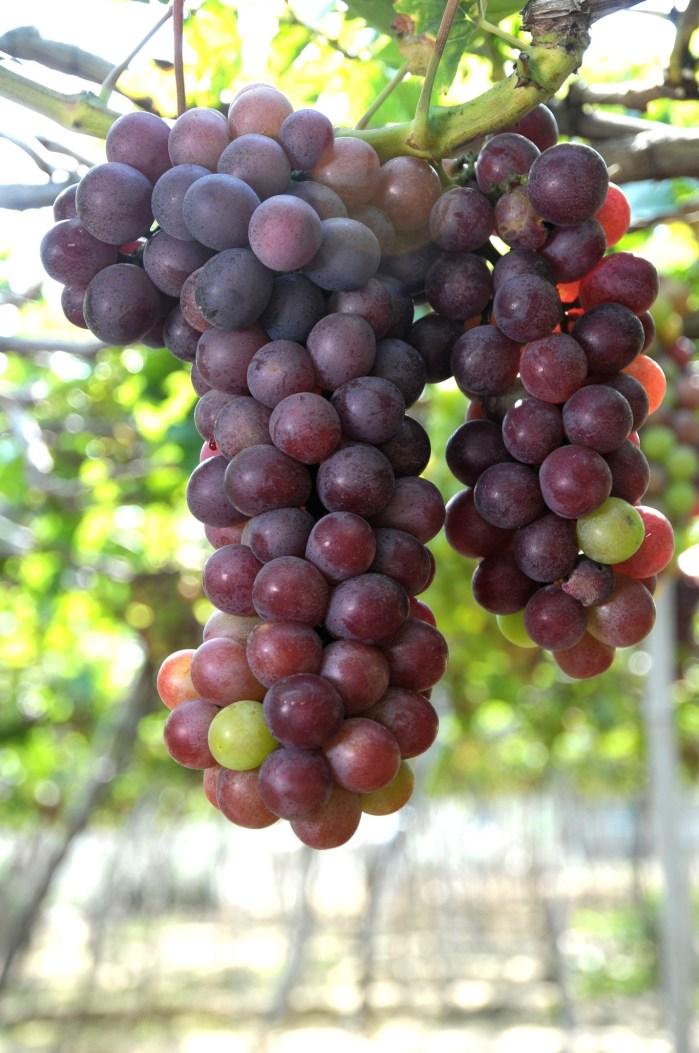 https://i2.wp.com/lafzblog.overstockpk.com/wp-content/uploads/2019/09/c-users-zubai-downloads-grapes-field-landscape-gr-1.jpeg?w=700
