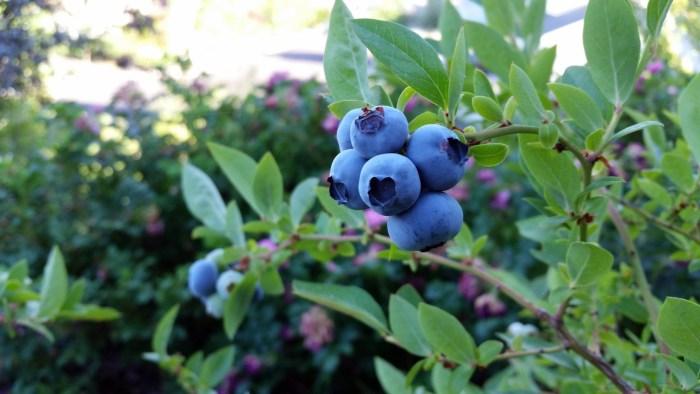 C:\Users\Zubair\Downloads\rubel-blueberry-2918485_1920.jpg
