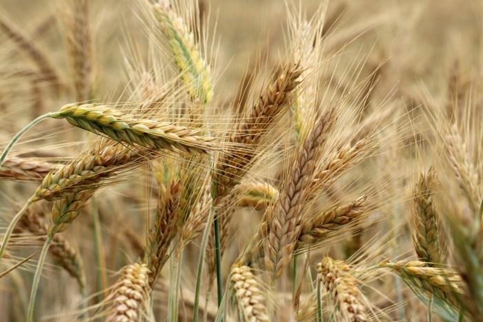 C:\Users\Zubair\Downloads\barley-3491125_1920.jpg