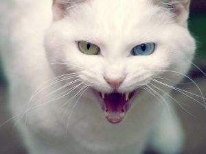 maullido-gato-angora