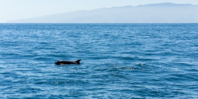 Delfines y ballenas en tenerife excursiones y avistamientos for Piscina la ballena tenerife